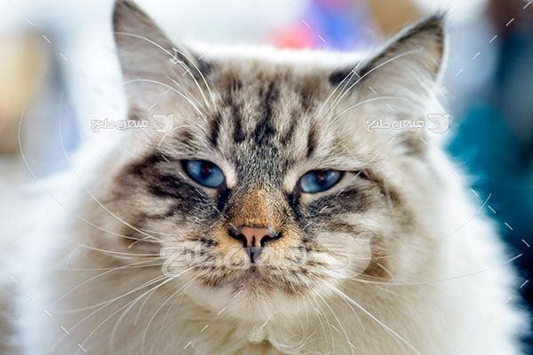 عکس تبلیغاتی گربه خانگی