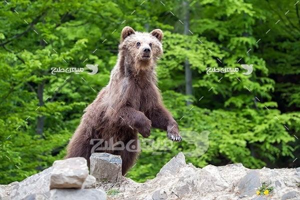 عکس تبلیغاتی خرس گریزلی