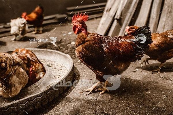 عکس مرغ و تخم مرغ