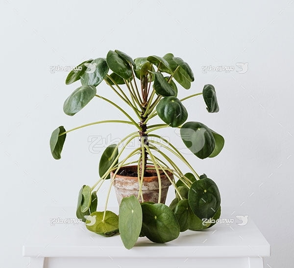 عکس گیاه تزیینی خانگی