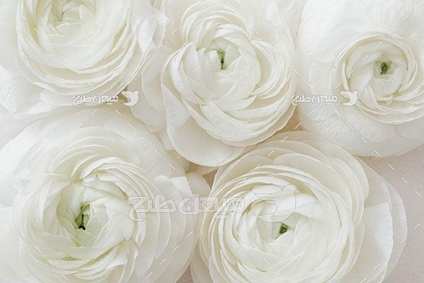 عکس گل رز پرورشی