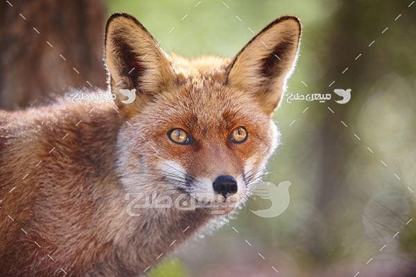 عکس تبلیغاتی روباه