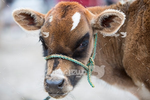 عکس تبلیغاتی گوساله