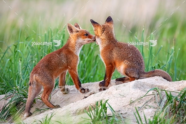 عکس تبلیغاتی روباه نارنجی