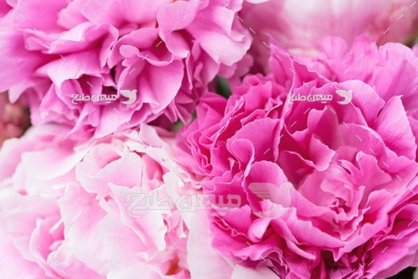 عکس گل پائونیا صورتی