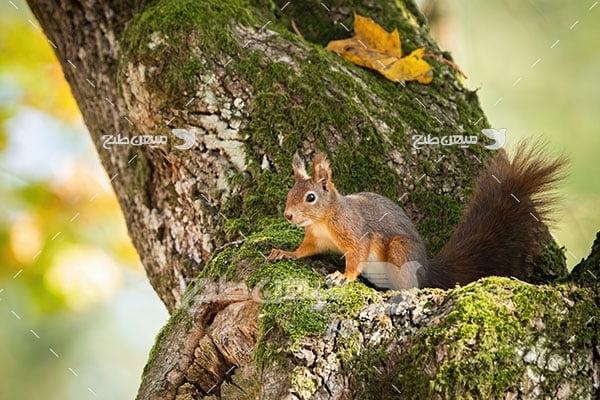 عکس تبلیغاتی سنجاب درختی