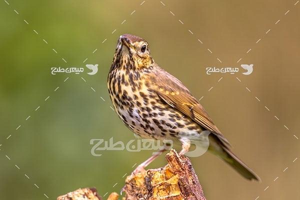 عکس تبلیغاتی پرنده با سینه خالدار