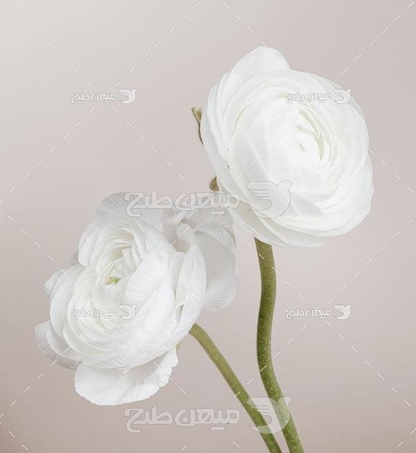 عکس شاخه گل رز سفید