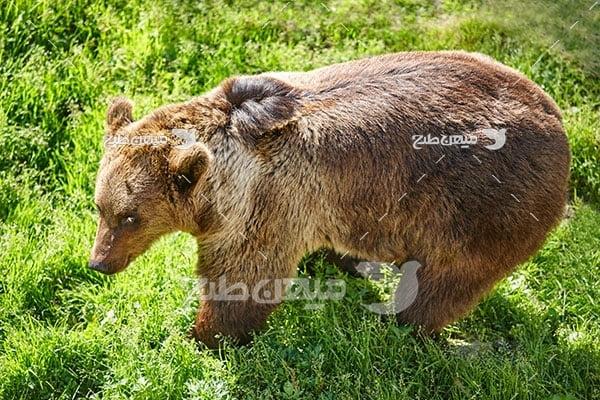 عکس تبلیغاتی خرس