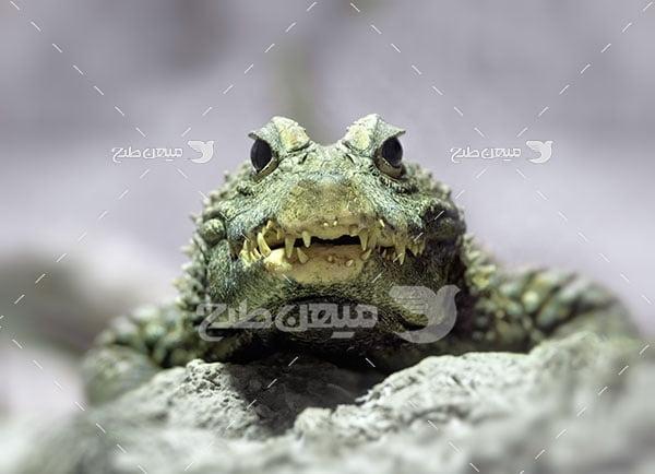 عکس تبلیغاتی تمساح
