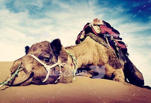 عکس تبلیغاتی شتر صحرایی