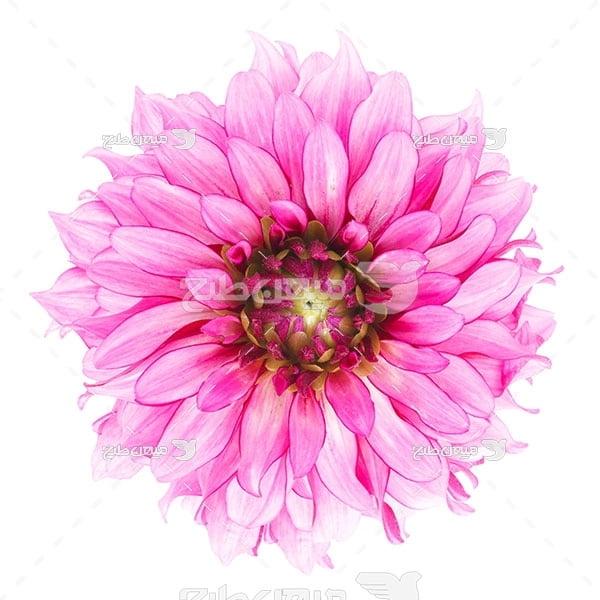 عکس گل صورتی رنگ