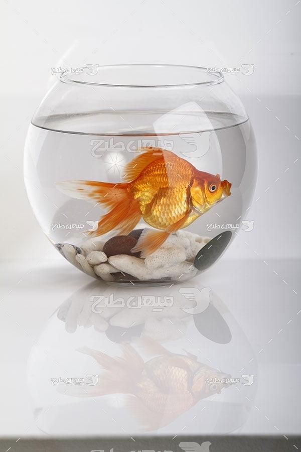 عکس ماهی قرمز