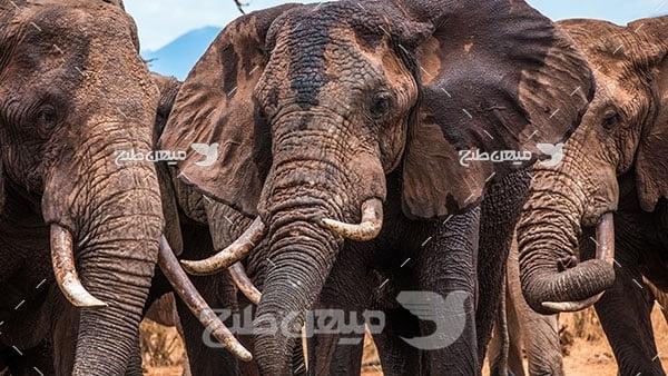 عکس تبلیغاتی فیل آفریقایی