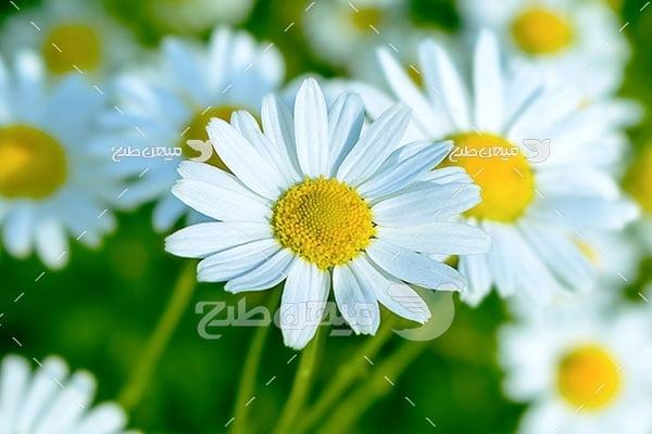 عکس گل مروارید