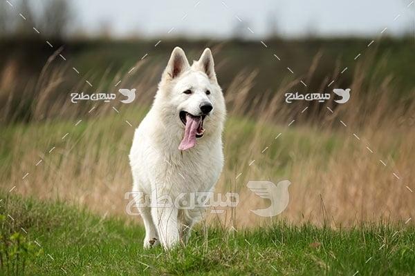 عکس تبلیغاتی سگ سفید