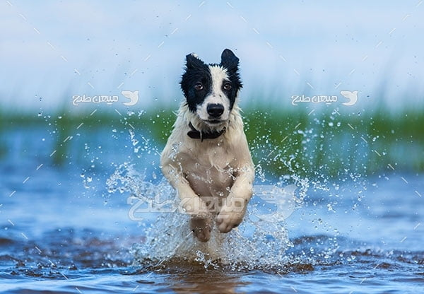 عکس تبلیغاتی سگ نگهبان