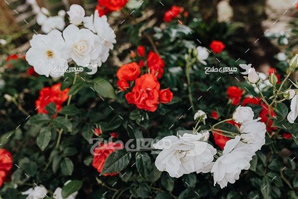 عکس باغچه گل