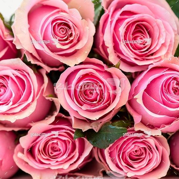 عکس شاخه گل های رز