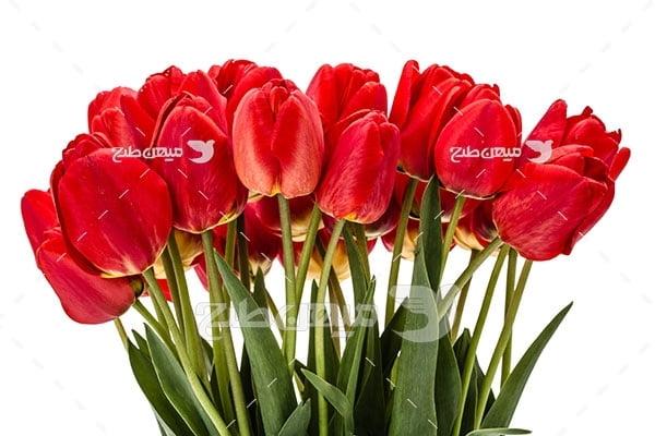 عکس گل لاله قرمز