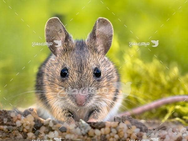 عکس تبلیغاتی موش صحرایی