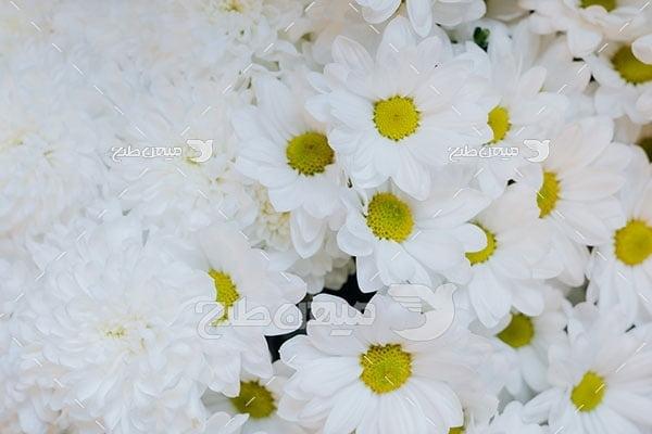 عکس گل مینای چمنی