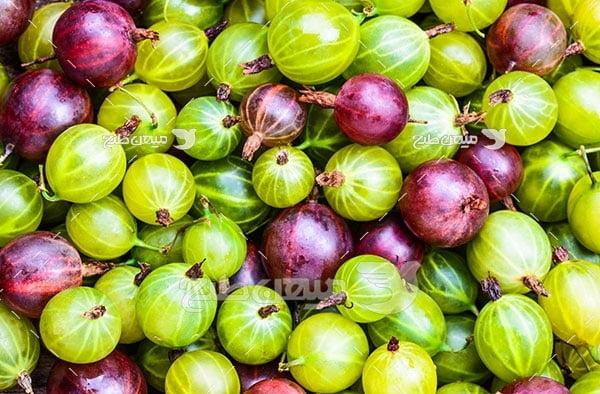 عکس انگور فرنگی هندی