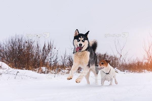 عکس تبلیغاتی سگ هاسکی
