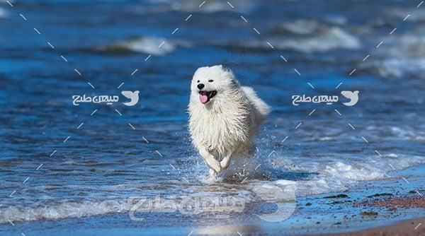 عکس تبلیغاتی سگ ساموید