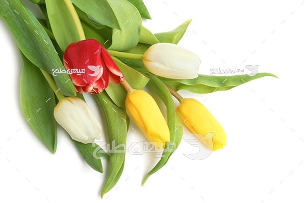 عکس شاخه گل لاله