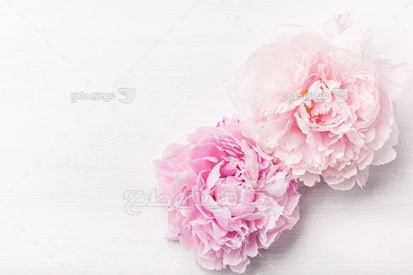 عکس شاخه گل پائونیا