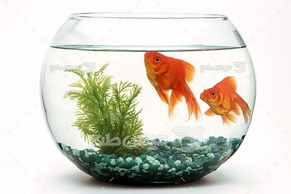 عکس تنگ ماهی قرمز عید