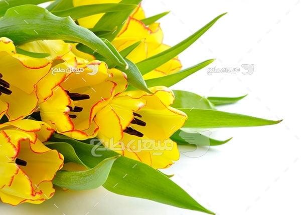 عکس گل لاله زرد