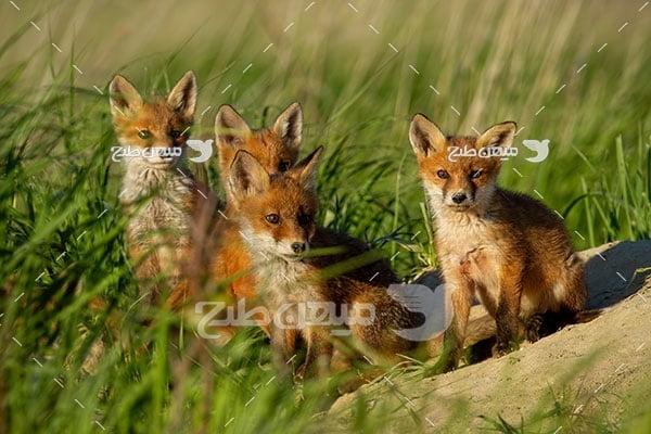 عکس تبلیغاتی بچه روباه