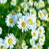 عکس شاخه گل مروارید