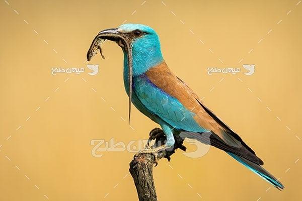 عکس تبلیغاتی پرندهسبزقبا حبشی
