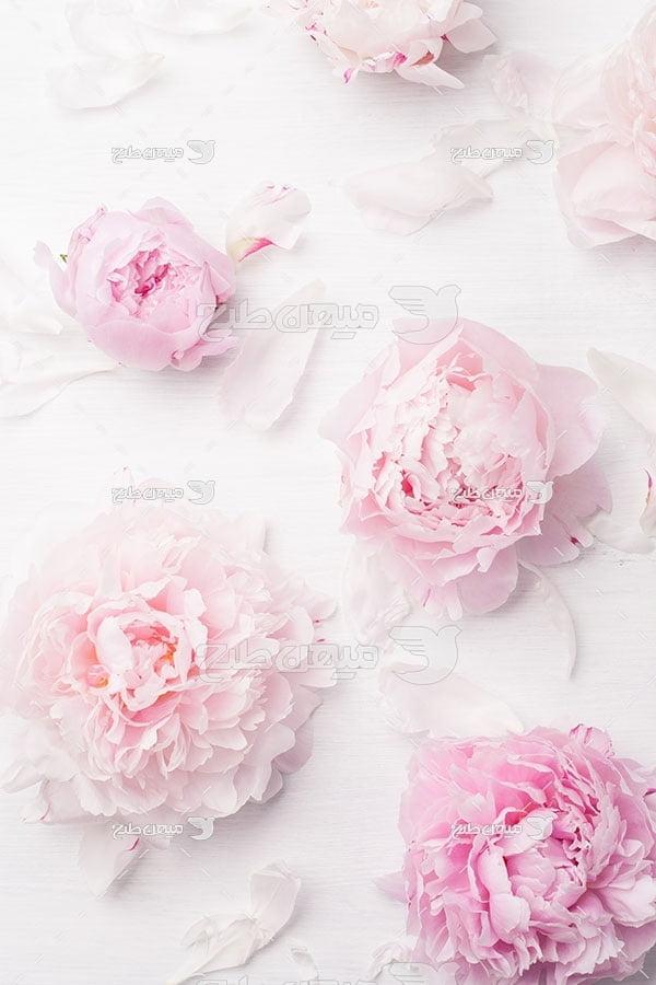 عکس گل زیبای صورتی رنگ