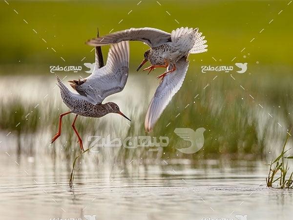 عکس تبلیغاتی پرنده آبچیلیک پاسرخ