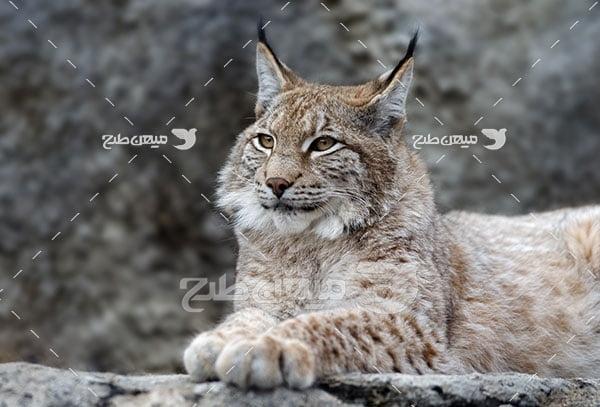 عکس تبلیغاتی گربه وحشی