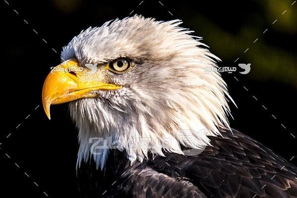 عکس عقاب