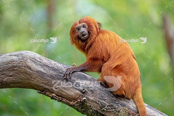 عکس تبلیغاتی میمون درختی