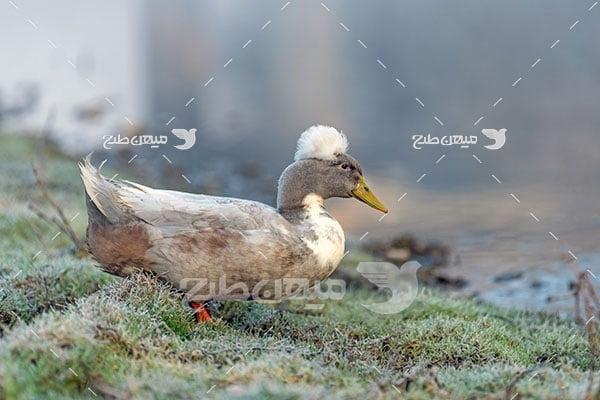 عکس تبلیغاتی اردک کاکلی سفید