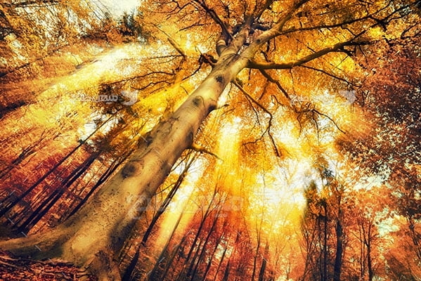 عکس طبیعت درختان بلند پاییزی