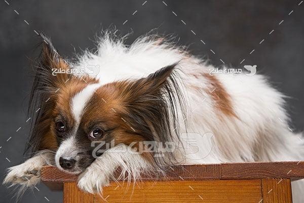 عکس تبلیغاتی سگ پاپیلون کوچک