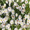 عکس دشت گل مروارید
