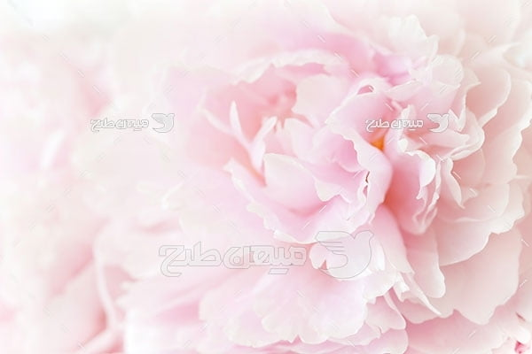 عکس گل رز صورتی روشن