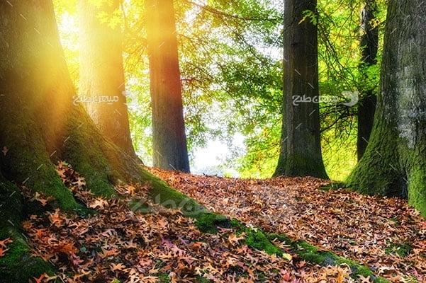 عکس تبلیغاتی طبیعت طلوع در جنگل