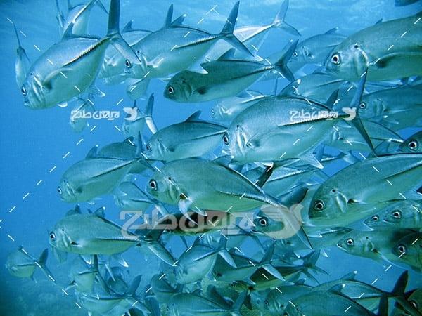 ماهی،گوشت ماهی,صید ماهی,ماهی و دریا