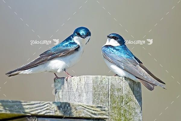 تصویر پرنده آبی