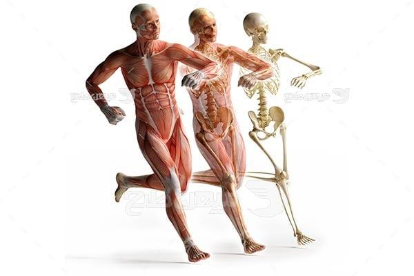 عکس آناتومی ماهیچه بدن انسان